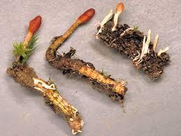 TE DE TOCHUKASO (Cordyceps sinensis)